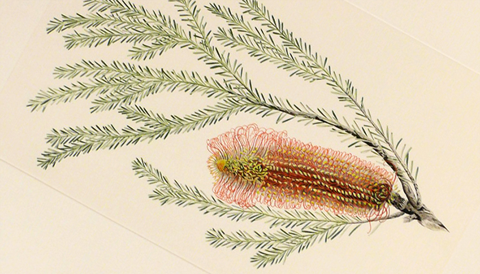 Joseph Banks Banksia illustration